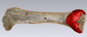 Kentrosaurus femur digital model